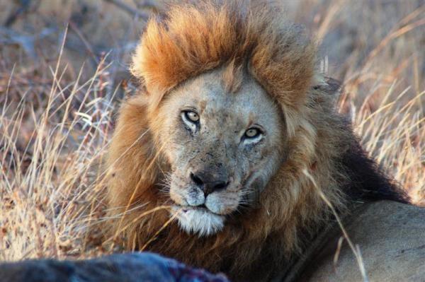 Lion King! by IOWAndy