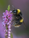 Bee on heather