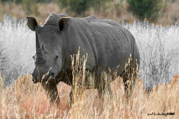 White Rhino by Spotlightkid