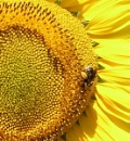Bee Resting on a Sunflower