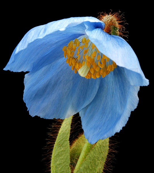 blue poppy by alan h.