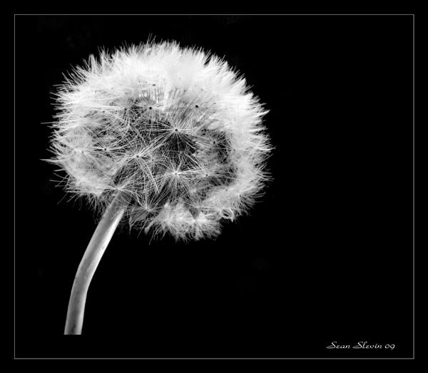 Dandelion by seanslevin