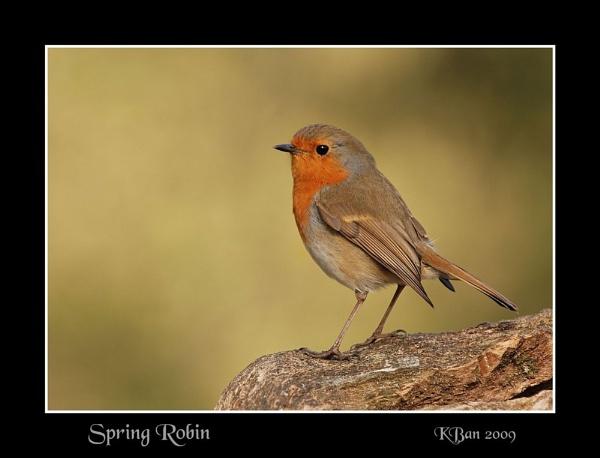 Spring Robin by KBan