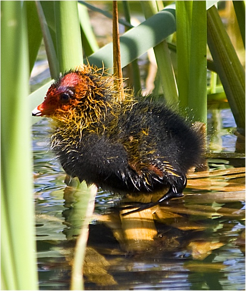 Coot Chick by BarbaraB