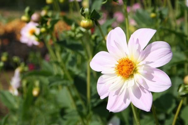 Daisy daisy by catgirl73