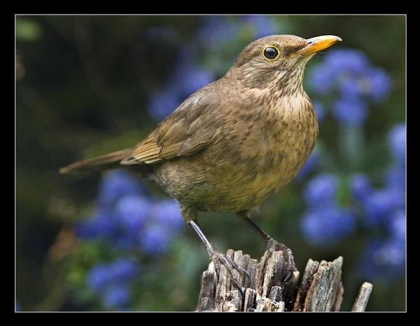 Female Blackbird by AMS1