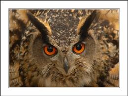 Full frame Owl