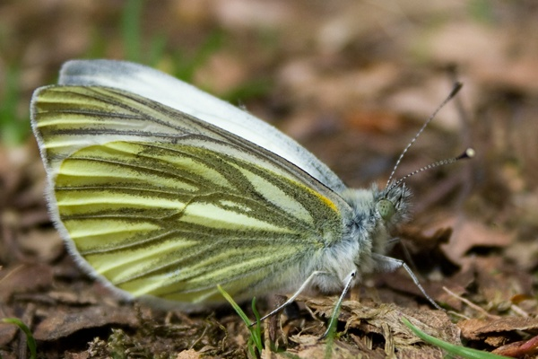 Green-veined White Butterfly by Macnibbler