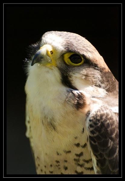 Falcon by GaryR