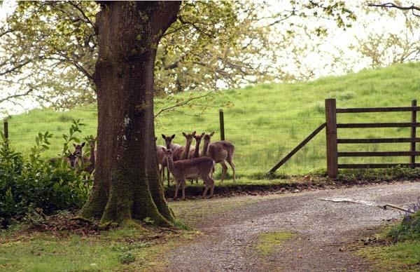 Wild Deer by Woodlander
