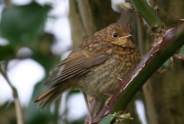 baby robin by encereto