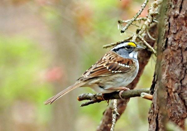 Sparrow by WaltP