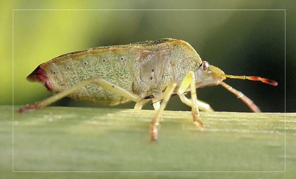 green shield bug by kraziteach