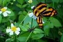Vietnamese butterfly
