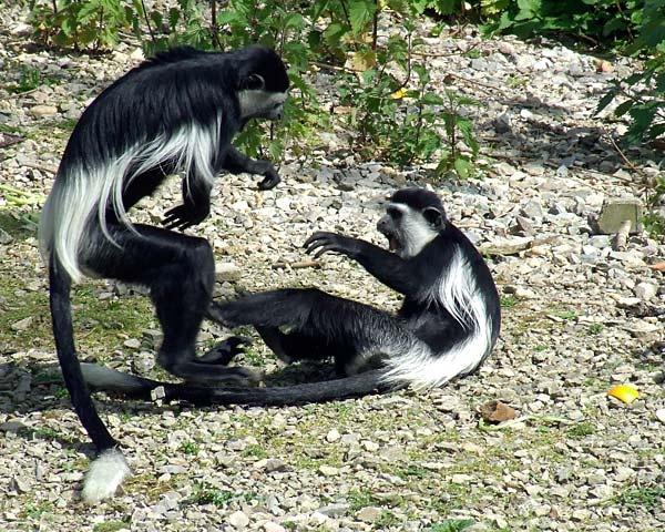 Fighting Colubus Monkeys by Georgie