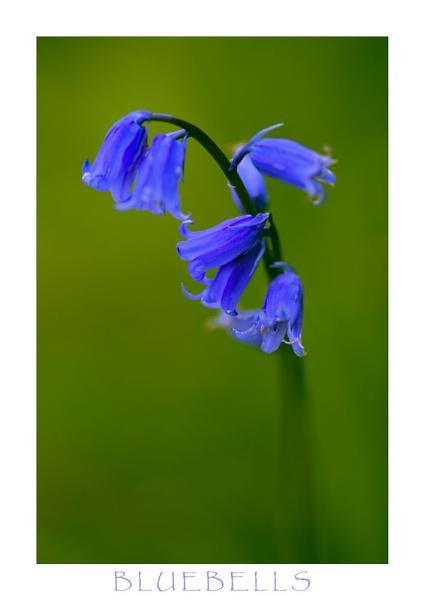 Bluebells by allan_j