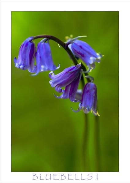 Bluebells II by allan_j
