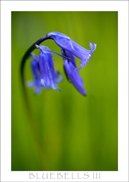 Bluebells III by allan_j