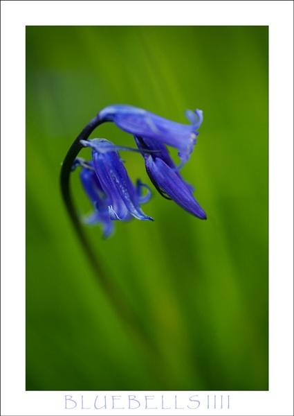 Bluebells IIII by allan_j