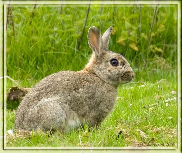 Wild Rabbit by teocali