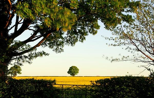 Lone tree in rape field by danielwaters