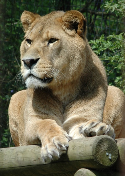 Barbary Lion (Panthera Leo Leo) by brownbear1991
