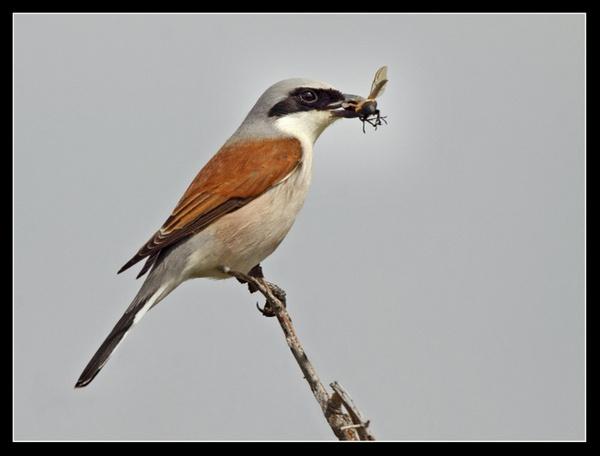 Red - Backed Shrike  Male by jaymark1