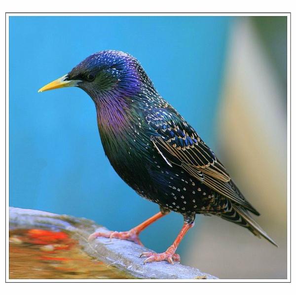 Starling by Kevhan