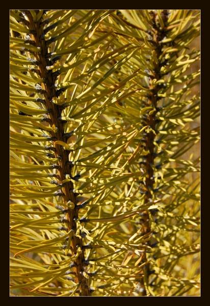 Pine Needles by sharlotte51