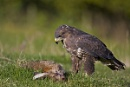 buzzard on rabbit