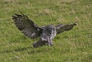 flying great grey owl