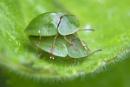 green tortoise beetles mating