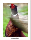 pheasant flurry