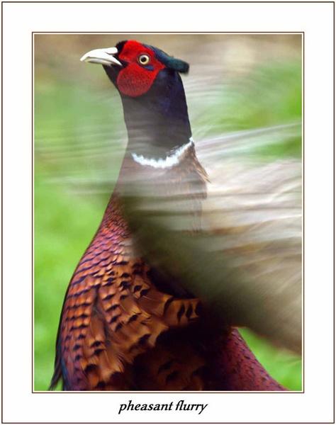 pheasant flurry by jayjay52