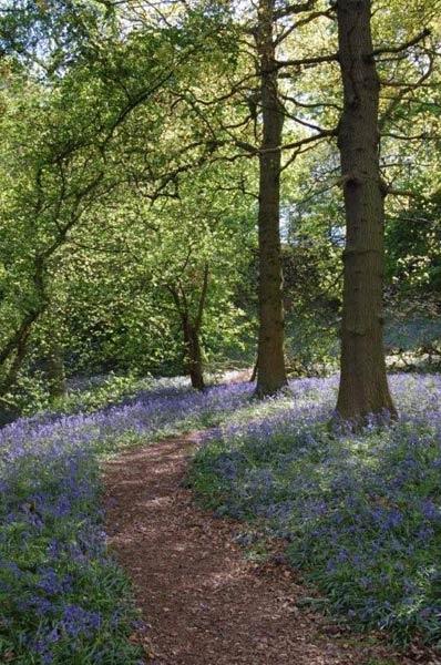 Bluebell wood by wennyb