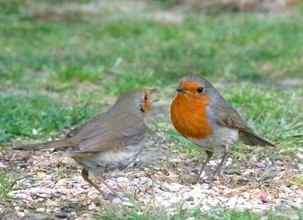 Two Robins by 64Peteschoice