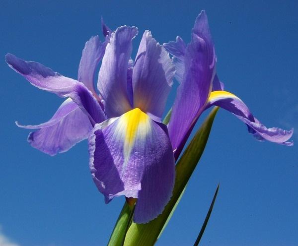 Iris by Rachel99