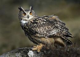 Eagle Owl (C)