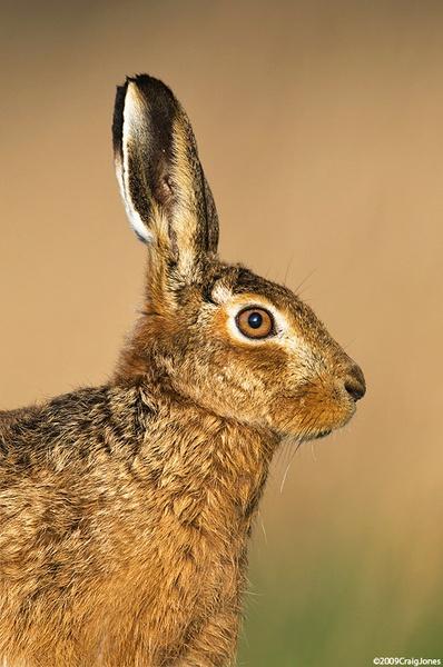 Portrait Of A hare by CraigJones