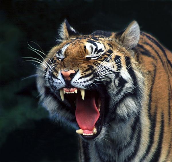 Yawning Tiger by baclark