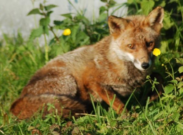 Evening Fox by IOWAndy