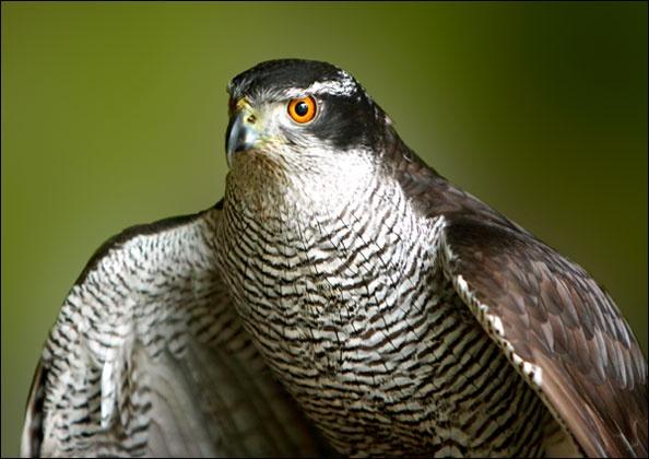 Sparrowhawk by freespiritscotland
