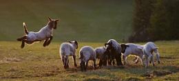 Sprung lamb