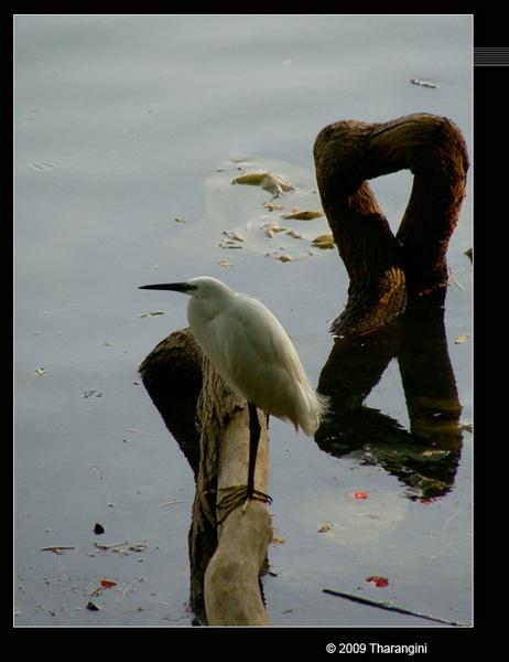 Little egret by tharang_b9