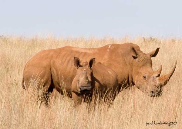 White Rhino Pair by Spotlightkid