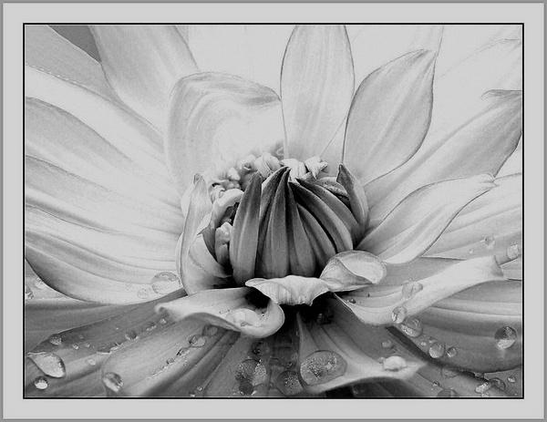 Dahlia Droplets by pamelajean