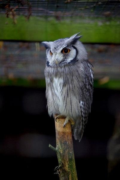 Owl by nikonuseruk