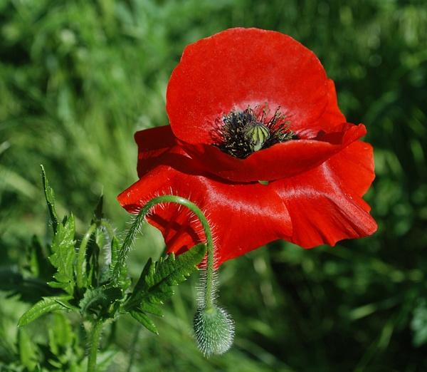 Poppy by stuart davies