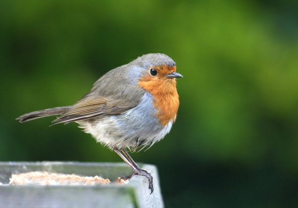 evening robin by mort
