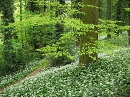 Garlic woods
